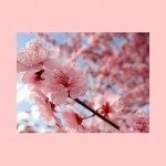 Cherry Blossoms: The Unofficial Flower of Japan